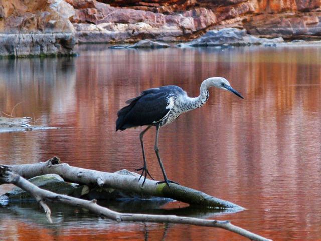Bird in Ormiston Gorge