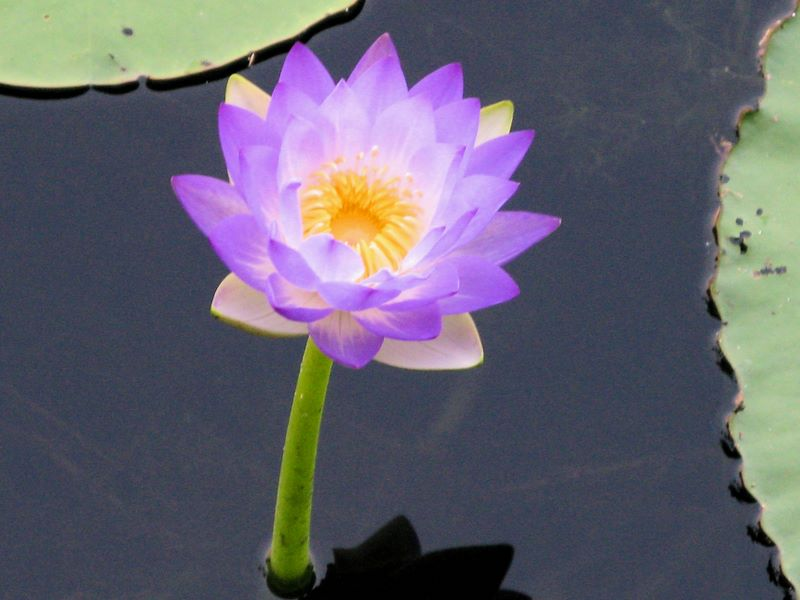 Water Lilly Kakadu