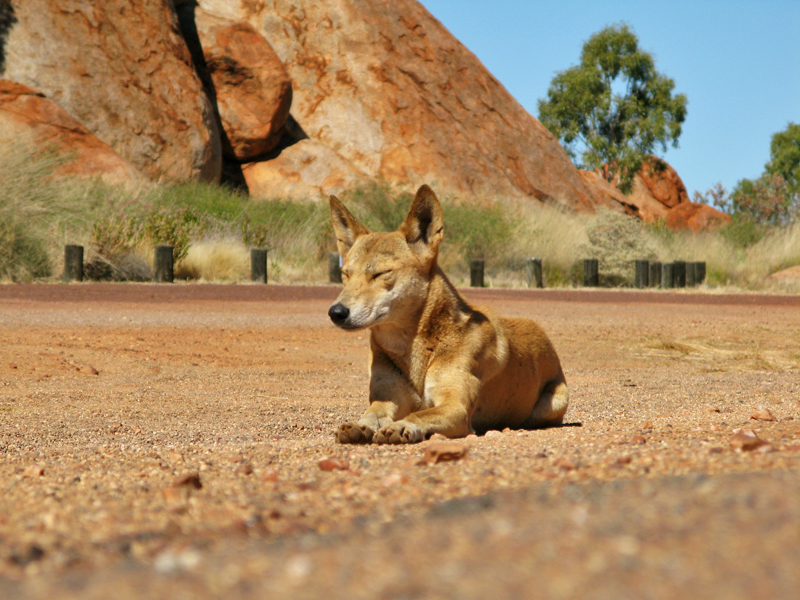 Dingo Basking In The Morning Sun At The Devil's Marbles
