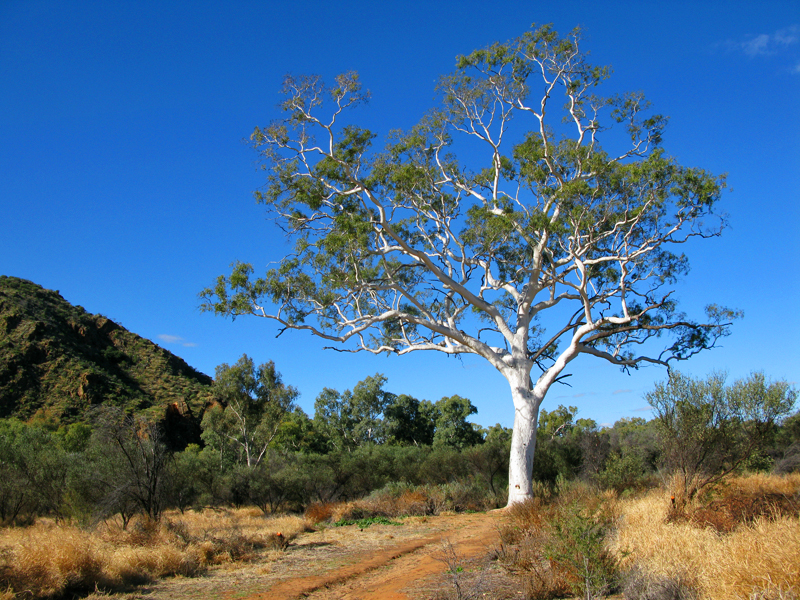 300 Year Old Ghost Gum